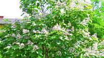 I mladá katalpa poskytuje díky pěkné koruně a velikým listům příjemný stín