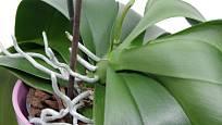 Při správné péči orchideji přibývají listy, vzdušné kořeny a vyhání i květní stvol.