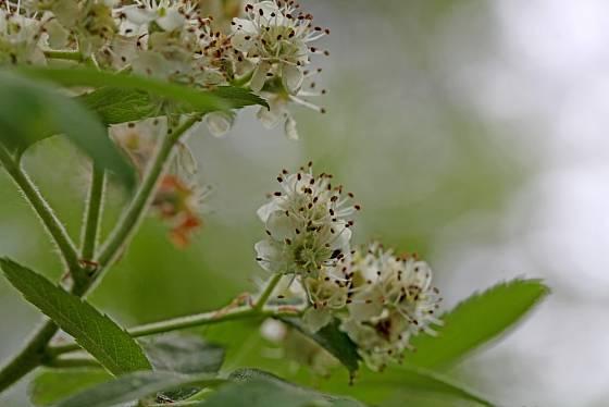 Květ jeřábu oskeruše