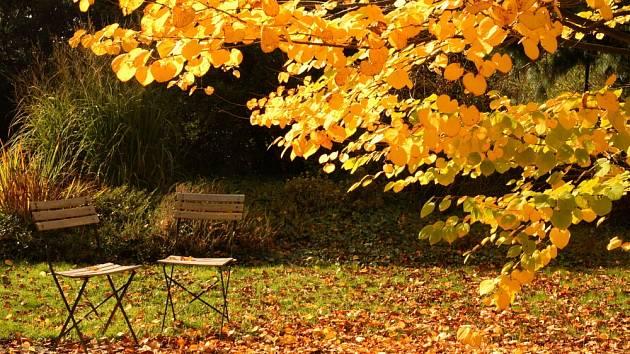 Zlatožluté listy dodají podzimní zahradě zvláštní kouzlo.