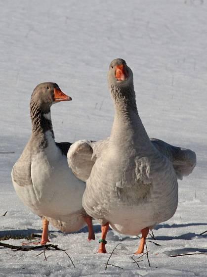 Otužilým pomořanským husám sníh nevadí
