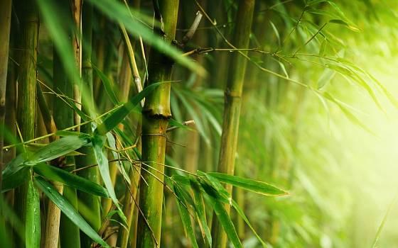 Bambusy mají jedinečné kouzlo, ozdobné jsou listy i stébla