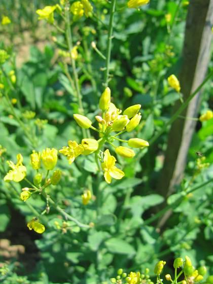 Tuřín (odrůda Legnavský karpel) v květu svou příbuznost s řepkou nezapře