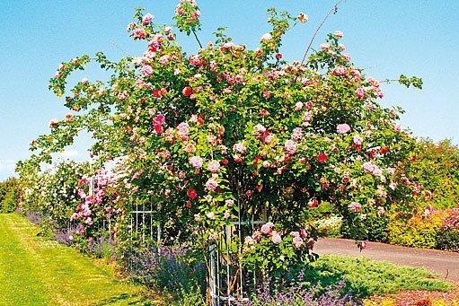 Mohutná růže ´Alchymist´ potřebuje prostor