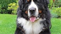 bernský salašnický pes