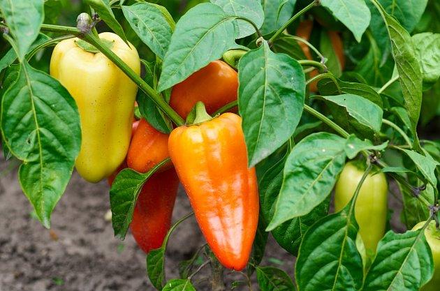 Hnojení epsomskou solí zaručí, že vaše rajčata a papriky budou obsypané chutnými plody