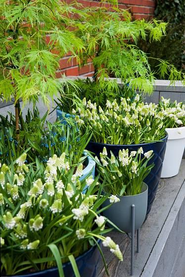Modřence zpestří jarní zahradu.