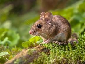 Jak vyhnat myši ze zahrady