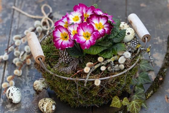 Primulka vložená do drátěného košíku a obložená mechem a větvičkami.