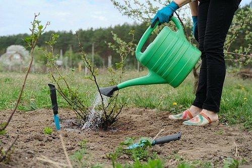Růže zalévejte vždy pomalu a déle, tak se vláha dostane do celého kořenového systému.