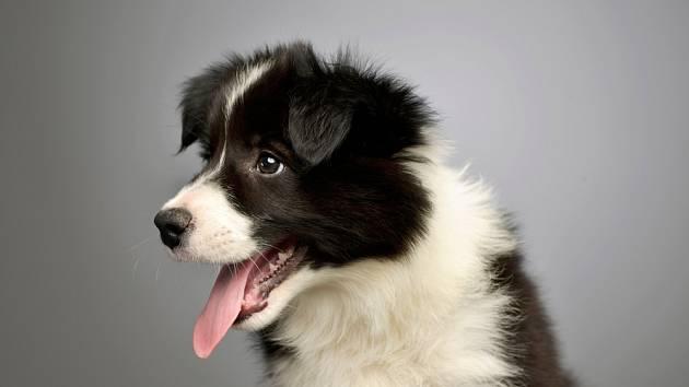 K výchově a výcviku ovčáckého psa je zapotřebí hodně práce a trpělivosti.  (border kolie)