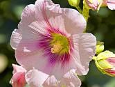 proskurník lékařský, květ