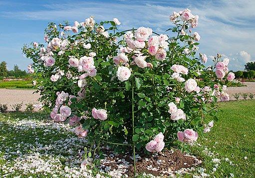 sadová růže