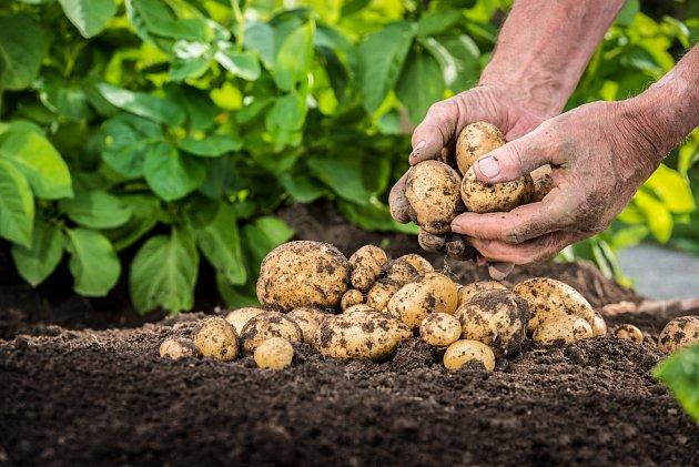 Postupně vykopávejte rané brambory a do poloviny července zasaďte další, protože vám do října ještě krásně dorostou.