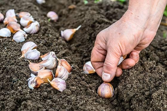 Stroužky česneku můžete vysadit koncem října i v průběhu listopadu
