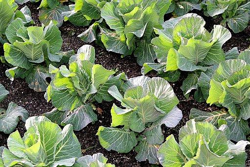 vzrostlé zelí
