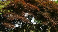 Javor dlanitolistý, odrůda Atropurpureum