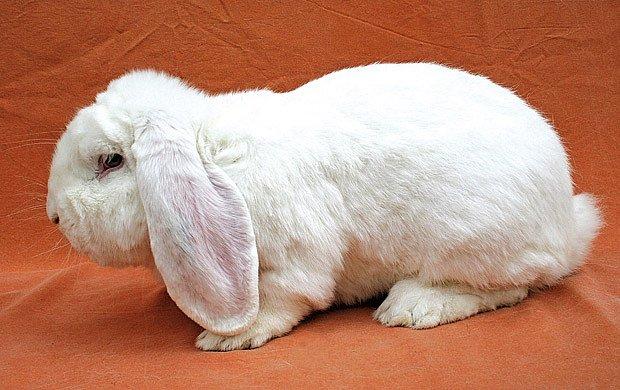 mladý králík plemene francouzský beran, bílý