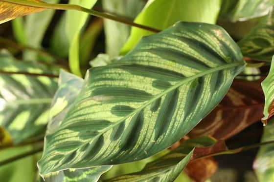 Calathea makoyana patří mezi často pěstované pokojovky