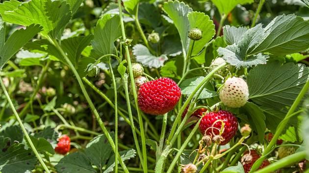 Každoročně obnovujeme alespoň 1/4 plochy osázené jahodníky.