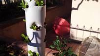 Vertikální pěstování jahod je možné i v plastových sloupech.