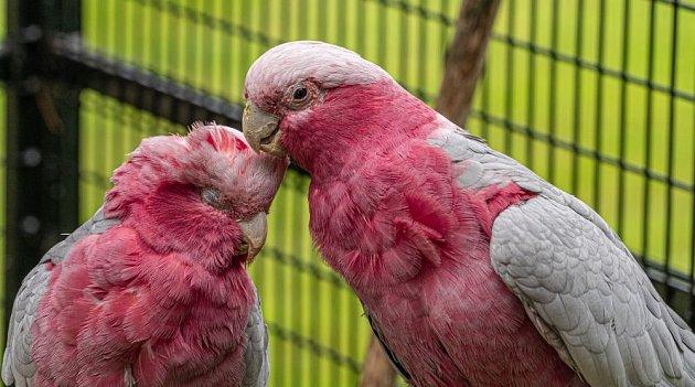 Kakadu růžový: Pár si projevuje náklonnost vískáním peří