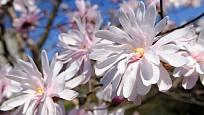 šácholan hvězdovitý (Magnolia stellata)