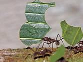 Mravenec z rodu Atta stěhuje část listu.