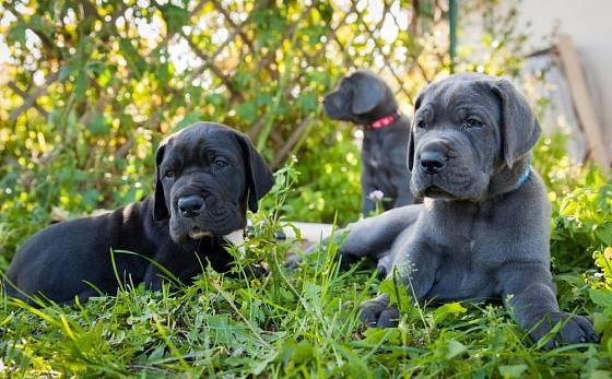 Štěňata německé dogy modrého zbarvení.