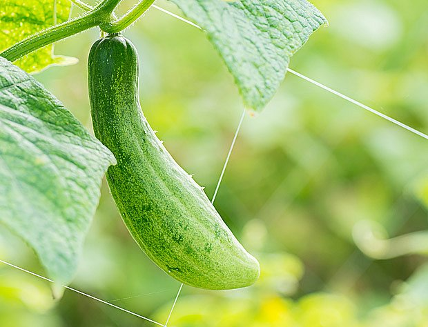 Při vertikálním pěstování okurek sklízíme čisté plody