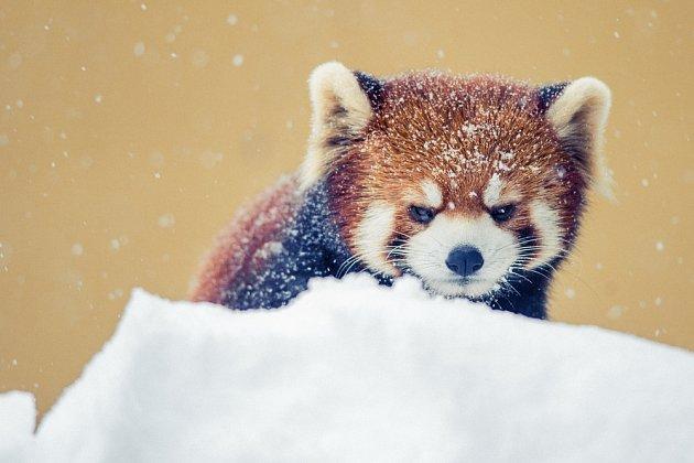 Ani v zimě se v zoo nespí