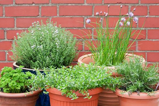 Pažitka patří k oblíbeným bylinkám, které můžeme pěstovat i v květináči.