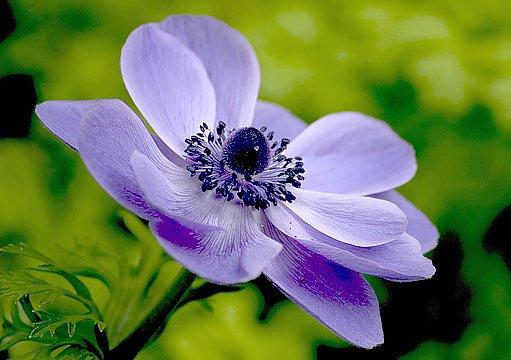 sasanka vábná (Anemone blanda)