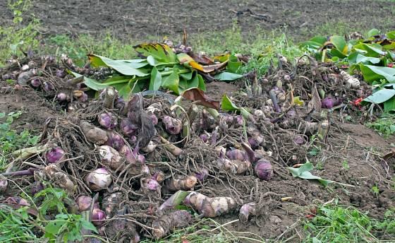 Sklizeň dosen (Canna) na konci vegetace.