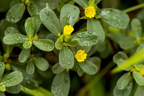 Šrucha zelná (Portulacea oleracea)
