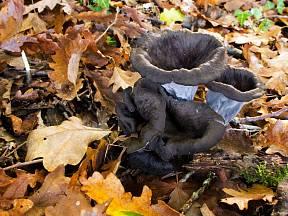 Stroček trubkovitý (Craterellus cornucopioides) roste nejvíce v listnatých lesích.