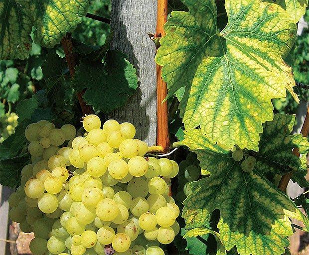 vinice v Úvalech