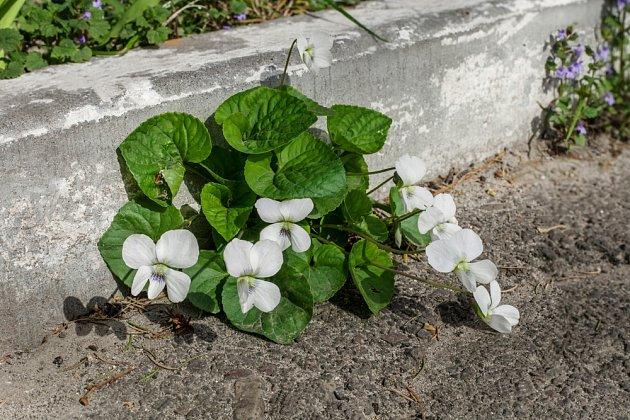 Violka vonná (Viola odorata)  'Alba'