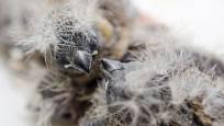 mláďata zebřiček, ještě ochmýřená prachovým peřím