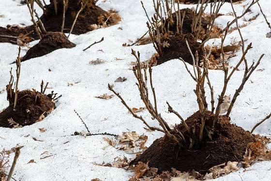 Bázi keřů spolehlivě ochrání kupka kompostu, celou plochu nasteleme i listím