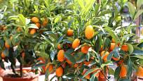 Citrus kumkvát může prospívat v teplém bytě po celý rok, obejde se bez zimování v chladu