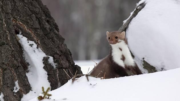 V zimě můžeme díky sněhu objevit kunu i díky stopám.