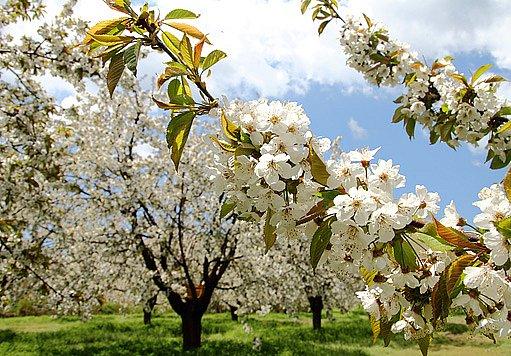 mandloně kvetou velmi časně zjara
