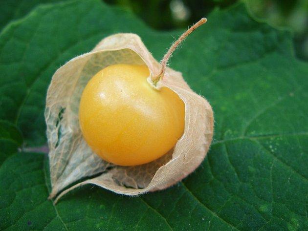 Zralý plod mochyně peruánské