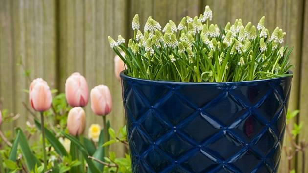 Modřence můžeme snadno pěstovat i v nádobách.