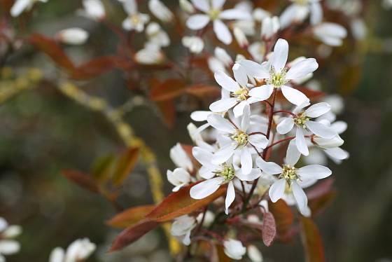 Větvička muchovniku s květy (Amelanchier ovalis).