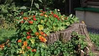 Spoustu parády na pařezu udělá bohatě kvetoucí lichořeřišnice.