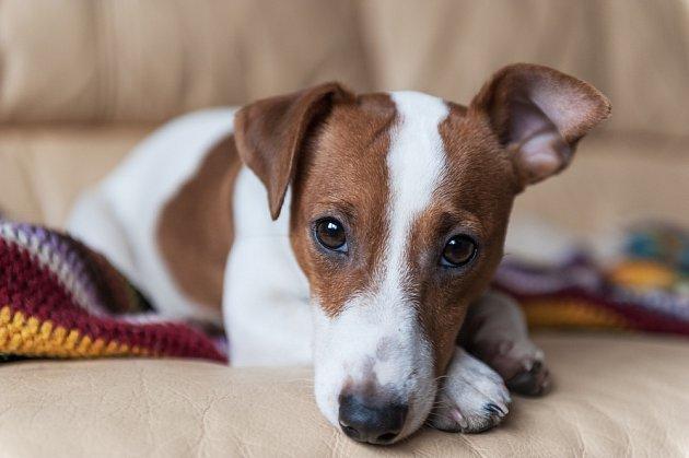 Jack Russell teriér může být dobrý psí parťák do bytu.