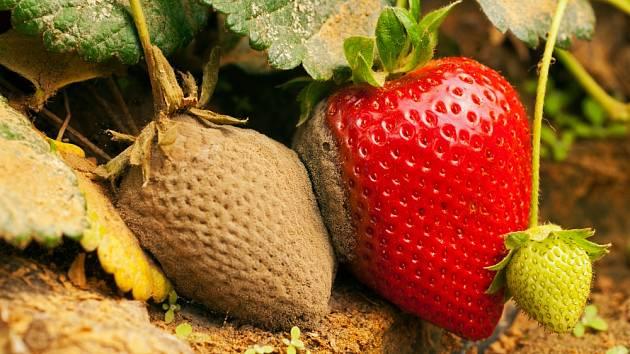 Plíseň šedá ohrožuje úrodu jahod