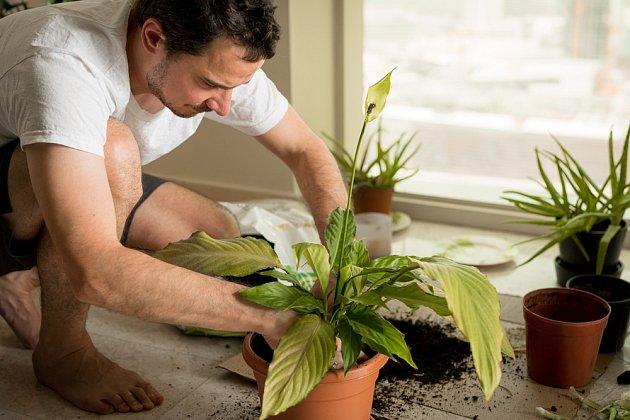 Někdy potřebuje rostlina přesadit do většího květináče a nového substrátu.